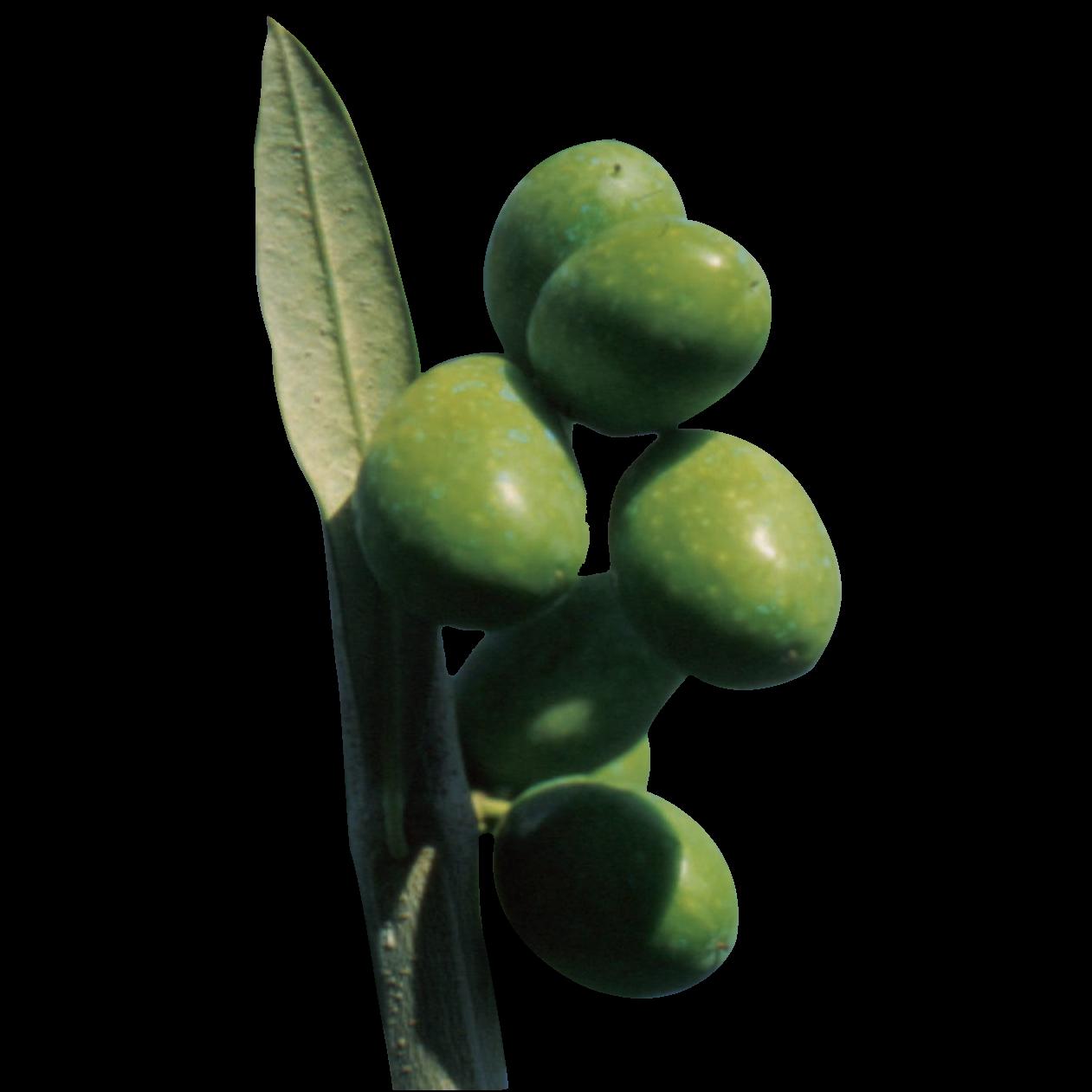 Pianta Olivo Coratina