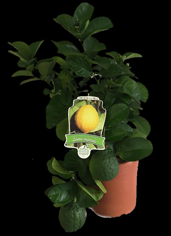 Limone Imperiale