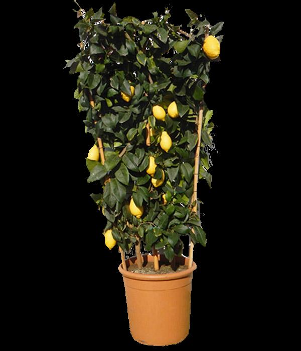 Limone Quattro Stagioni H 70