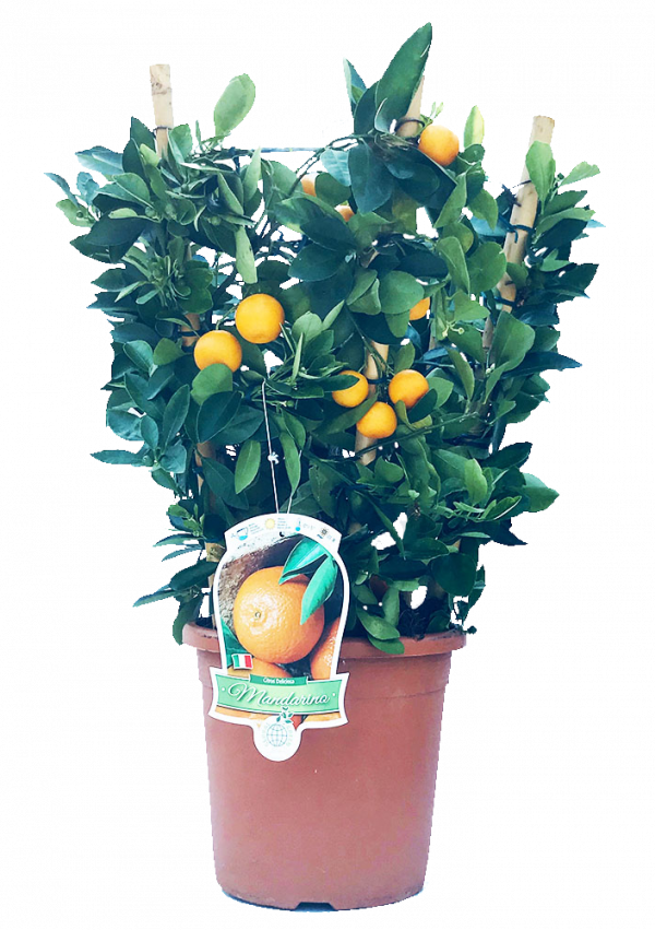 Piantina di mandarino in vaso