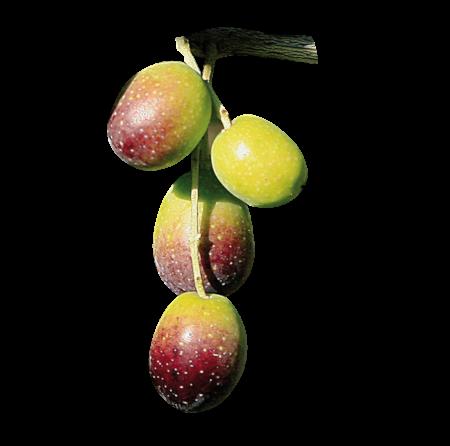 Olivo Santa Caterina - Piantine di Ulivo di 2 anni - Olivishop