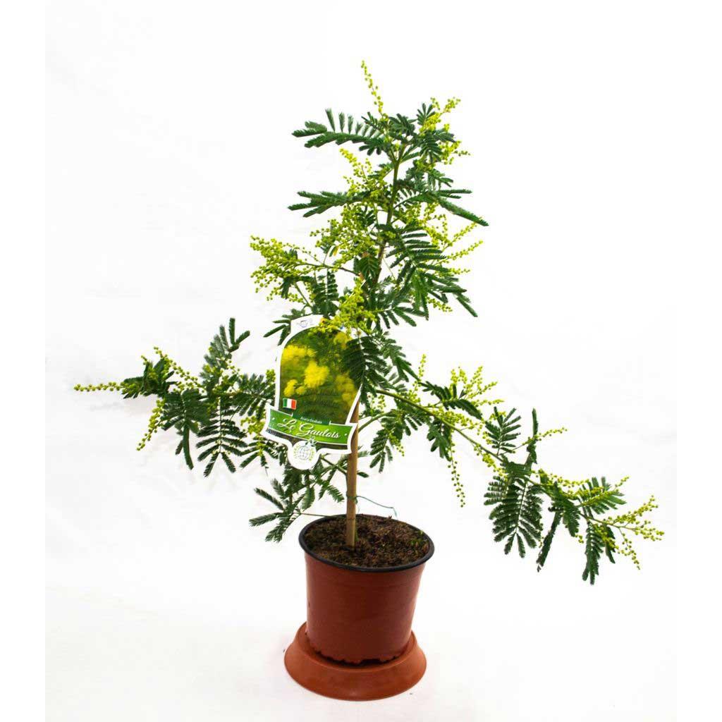 mimosa a dealbata