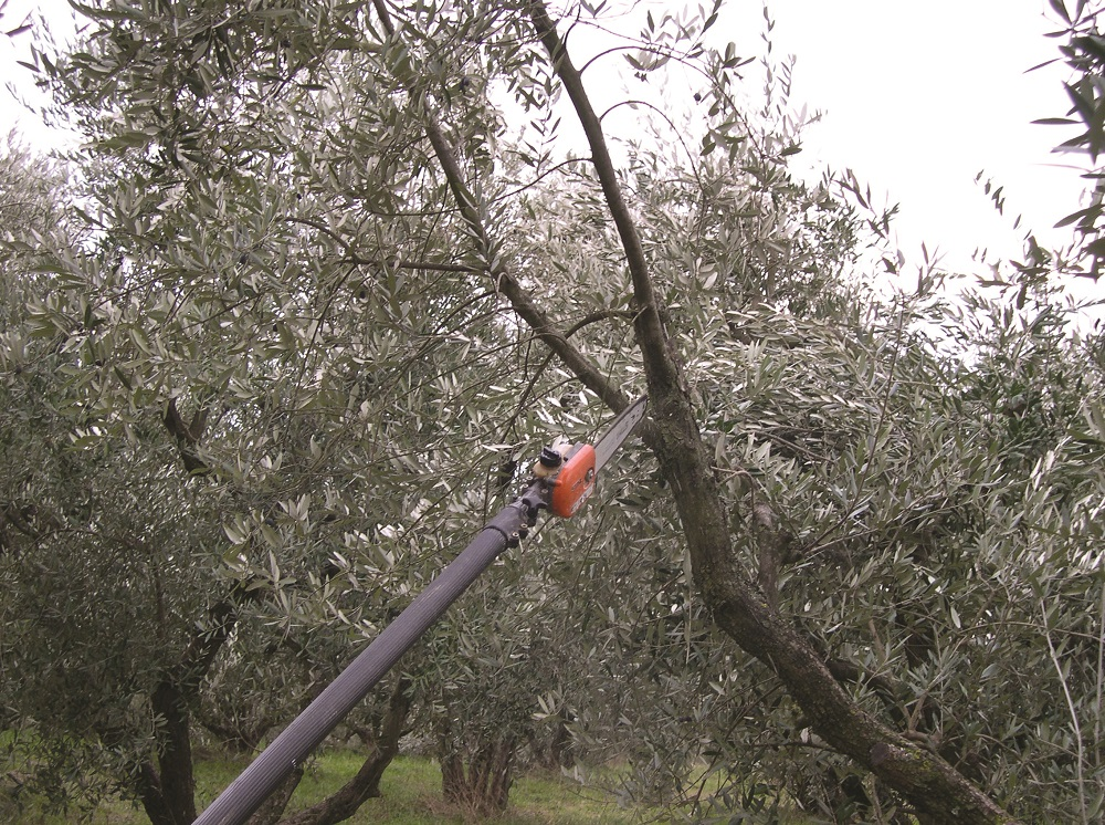 allevamento olivo